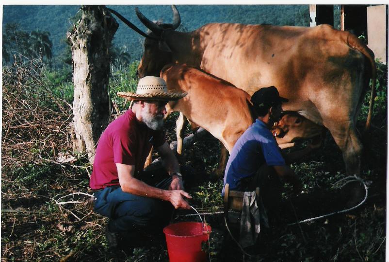 Cuba gm cow